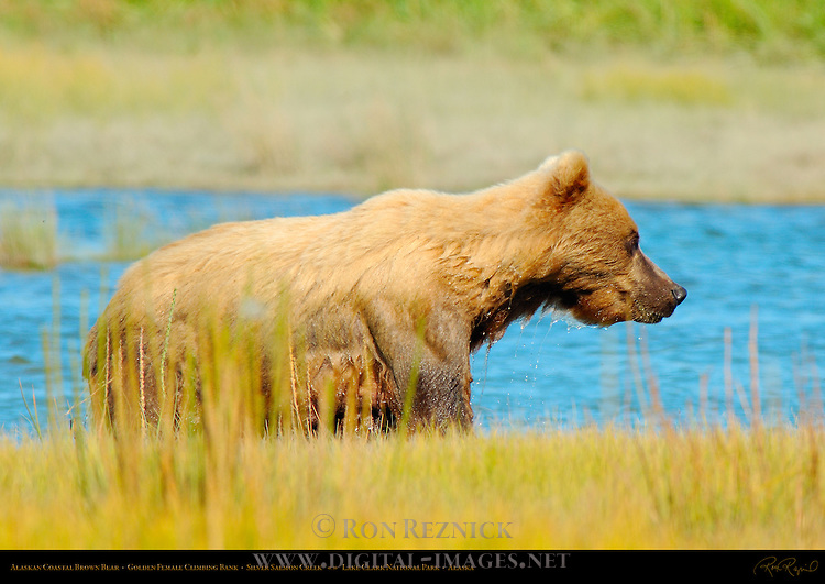 Alaskan Coastal Brown Bear, Golden Female Climbing Bank, Silver Salmon Creek, Lake Clark National Park, Alaska