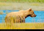 Alaskan Coastal Brown Bear, Golden Female Climbing Bank, Silver Salmon Creek, Lake Clark National Park, Alaska