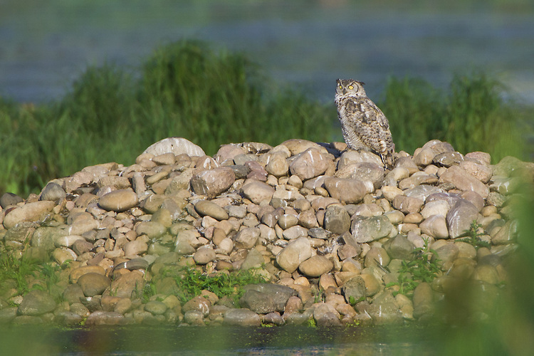 Great-horned Owl perched on a pile of rocks