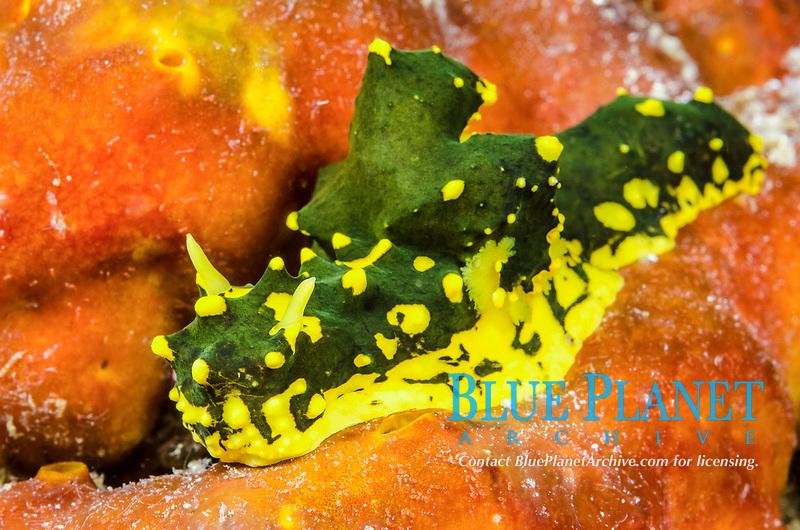 Nudibranch, Aegires gardeneri, Cenderawasih Bay, West Papua, Indonesia, Pacific Ocean