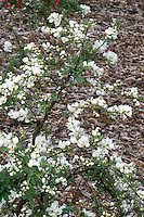 Exochorda x macrantha 'The Bride' in early spring bloom