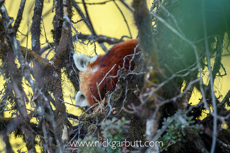 Adult red panda (Ailurus fulgens) (western subspecies A. fulgens fulgens) (sometimes lesser panda, red bear-cat, red cat-bear) sleeping in temperate forest understorey. Mid montane forest, Himalayan foothills, Singalila National Park, India / Nepal Border.