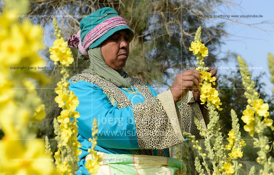 EGYPT, Bilbeis, Sekem organic farm, desert farming, harvest of flowers of Mullein which is used for natural pharmaceuticals and medicine / AEGYPTEN, Bilbeis, Sekem Biofarm, Landwirtschaft in der Wueste, Ernte von Blaettern der Koenigskerze
