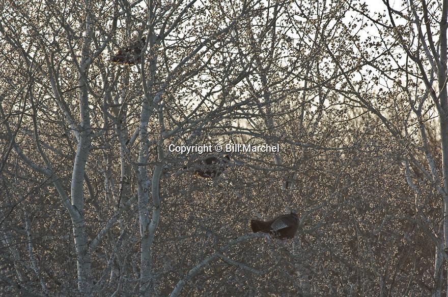 01225-096.12 Wild Turkey: Three birds are feeding on aspen buds during late winter.  Hunt, food, forest, popple, north.