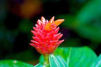 Ginger flower (Costus productus) at Waimea Falls Park
