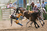 A rider heads to the dirt after being thrown from a bucking saddle bronc at the Jordan Valley Big Loop Rodeo, Ore.--saddle bronc riding