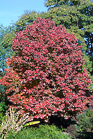 Nyssa sylvatica 'Dirr Selection' Black Gum tree in autumn color, tupelo in fall foliage, with Zelkova serrata 'Schmidtlow' aka Wireless Japanese zelkova in fall foliage color