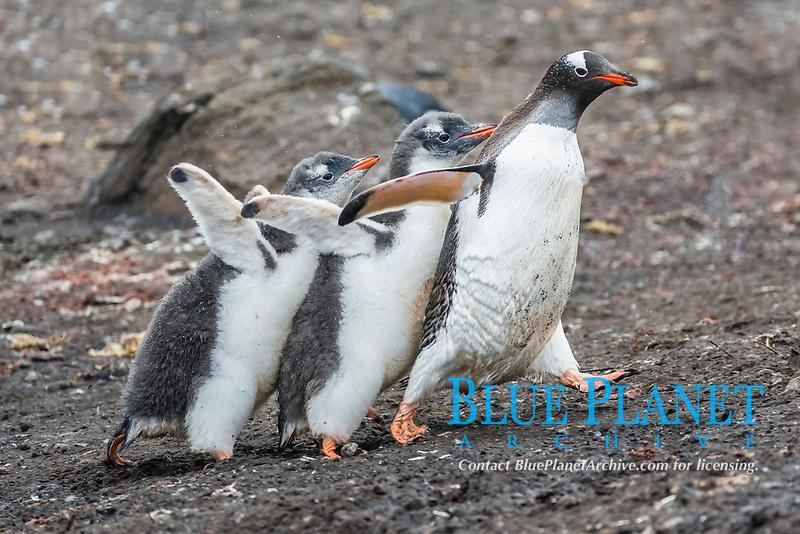gentoo penguin chicks, Pygoscelis papua, pursuing adult for food, Hannah Point, Livingston Island, South Shetland Islands, Antarctica, Southern Ocean