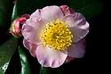Camellia x williamsii (japonica x saluenensis), mid March.