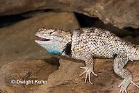 1R19-518z  Desert Spiny Lizard, Sceloporus magister