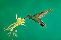 Broad-billed Hummingbird, Cynanthus latirostris, male in flight feeding on longspur columbine(Aquilegia longissima), Madera Canyon, Arizona, USA