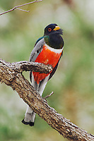 Elegant Trogon, Trogon elegans, male calling, Madera Canyon, Arizona, USA