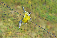Magnolia Warbler (Dendroica magnolia) caught in mist net to monitor fall migration & population trends, Haldimand Bird Observatory, s. Ontario, Canada.
