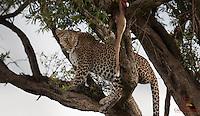 Leopard (Panthera pardus) with Impala kill in a tree, Masai Mara, Kenya