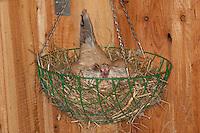 Zwerghuhn, Henne brütet im Hühnerstall auf Nest, Hühner, glückliche Hühner, freilaufende Hühner, Artgerechte Tierhaltung, Zwerghühner