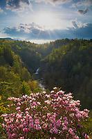 Carolina rhododendron in bloom at Linville Falls, Blue Ridge Parkway, North Carolina