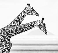 One of the more photogenic subjects (especially in black and white) found in east Africa is the giraffe.