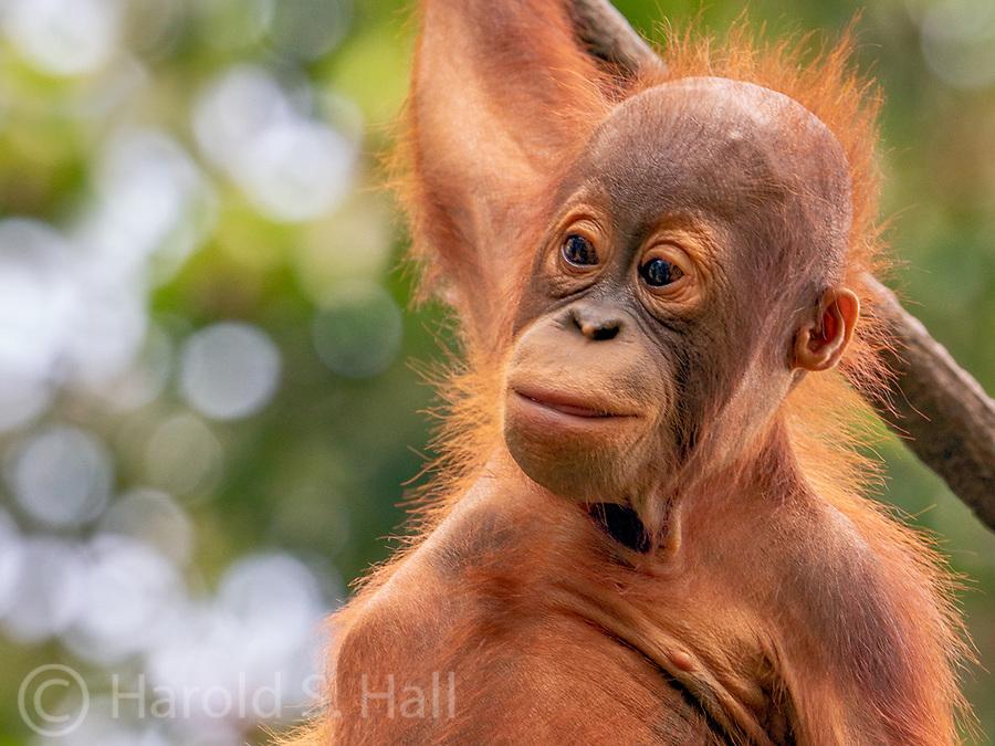 Orangutan at the wonderful Singapore Zoo.