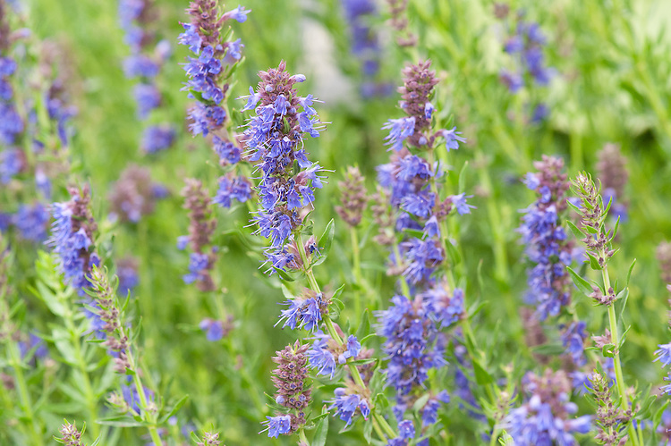 Hyssop (Hyssopus officinalis), a perennial herb native to the Mediterranean.