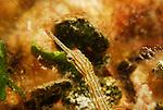 Orange spotted Pipefish,  Corythoichthys ocellatus, Lembeh Straits, Sulawesi Sea, Indonesia, Amazing Underwater Photography
