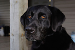 Black Labrador retriever (AKC) sitting on porch.  Close-up.  Winter, WI.