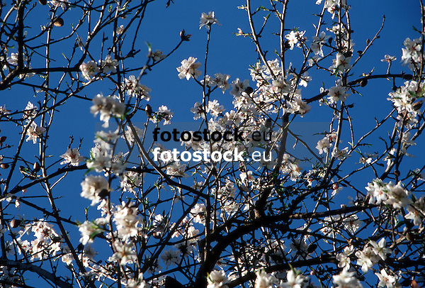 Flowering almond tree<br /> <br /> Almendro en flor<br /> <br /> Blühender Mandelbaum<br /> <br /> 3554 x 2406 px<br /> Original: 35 mm slide transparency