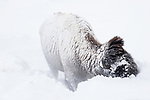 Male American Bison (Bison bison) moving deep snow and grazing. Hayden Valley. Yellowstone National Park, Wyoming, USA. January