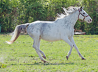 Megson Farms, white and colorful Thoroughbreds