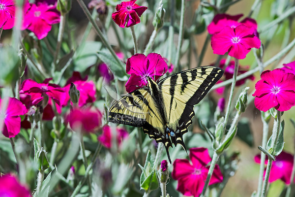 """Western Tiger Swallowtail butterfly (Papilio rutulus) on ornamental """"flowering tobacco"""" plant.  Pacific NW, summer."""