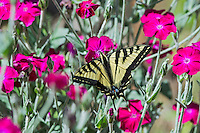 "Western Tiger Swallowtail butterfly (Papilio rutulus) on ornamental ""flowering tobacco"" plant.  Pacific NW, summer."