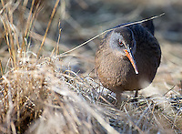 The Virginia rail is a popular species among birders in the Pacific Northwest, due to its scarcity and elusive nature.