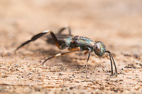 A female Chalcid Wasp (Metapelma spectabile) uses her antennae to sense larvae of wood boring beetles in the wood of a fallen dead tree onto which she will lay her eggs.