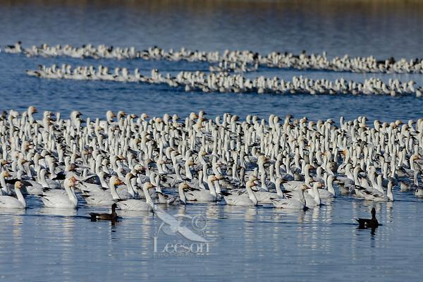 Snow Geese (Chen caerulescens) resting on pond, Lower Klamath NWR, Oregon/California.  Feb-March.