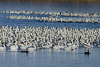 Snow Geese (Chen caerulescens) resting on pond, Lower Klamath NWR, Oregon/California.  Feb-March.