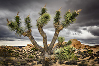 A close up of a Joshua Tree at California's Joshua Tree National Park
