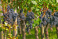 Ripe bunches of Merlot grapes in a row in the vineyard - Chateau Grand Mayne, Saint Emilion, Bordeaux