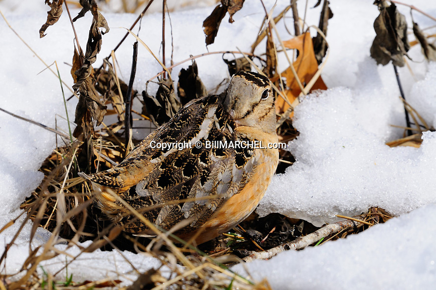 01262-017.18 American Woodcock is sitting with it bill under its wing in small opening after a heavy snow fall.  Hunt, survive, cold, winter.