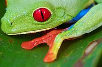 red-eyed treefrog, Agalychnis callidryas, eye, webbed foot, in rainforest, Costa Rica