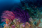 branches of red whip coral (Ctenocella sp) Misool, Raja Ampat, West Papua, Indonesia