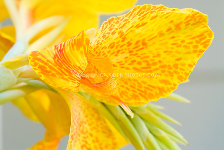 Canna 'En Avant' spotted yellow red