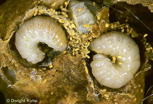 BU12-001c  Bumblebee- colony with larvae exposed in wax case - Bombus impatiens