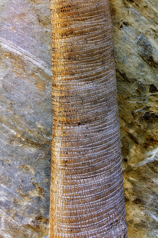 Close up of California Fan Palm tree trunk and rock wall. Murray Canyon. Indian Canyons. Palm Springs California