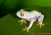 0306-0902  Red-eyed Tree Froglet (Young Frog), Agalychnis callidryas  © David Kuhn/Dwight Kuhn Photography.