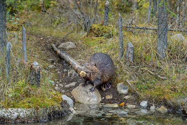 North American Beaver (Castor canadensis) towing small tree trunk back to lodge area for winter food supply.  British Columbia, Canada.  Fall.