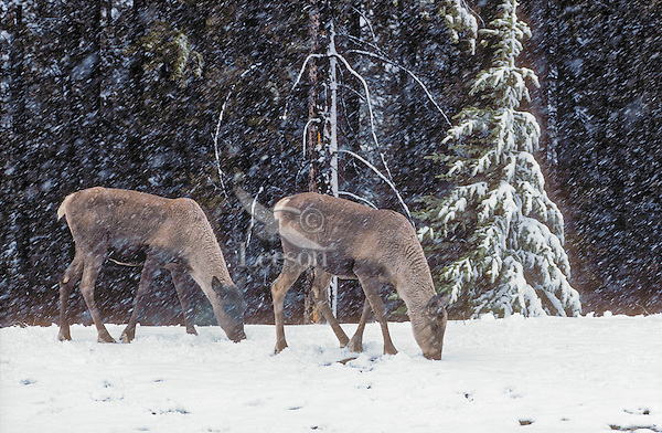 Woodland Caribou: Mountain Caribou ecotype (Rangifer tarandus caribou) feed on fresh green plants during sudden Spring snowfall in the Rocky Mountains of Jasper National Park, Alberta, Canada. Mountain Caribou are considered to be the most endangered large mammal in lower 48 states of U.S.A. and a threatened species in Canada.