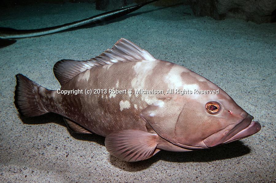 Red grouper sitting on sand habitat full body side view