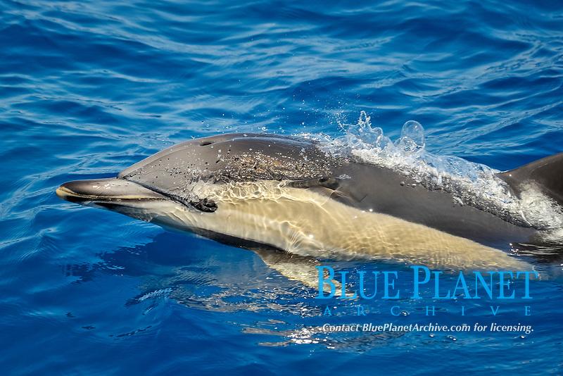 Short-beaked Common Dolphin, Delphinus delphis, surfacing, west of Faial Island, Azores, Atlantic Ocean