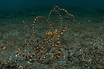 Wonderpus or Wunderpus on the sand, Wunderpus photogenicus, Lembeh Strait, Bitung, Manado, North Sulawesi, Indonesia, Pacific Ocean