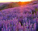 Sunset, Lupin, Childs Hill Prairie, Redwood National Park, California