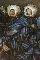 Barnacles and Mussels at Kalaloch Beach 4, Olympic Peninsula, Washington, US